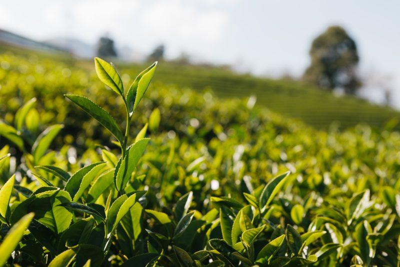 お茶畑イメージ